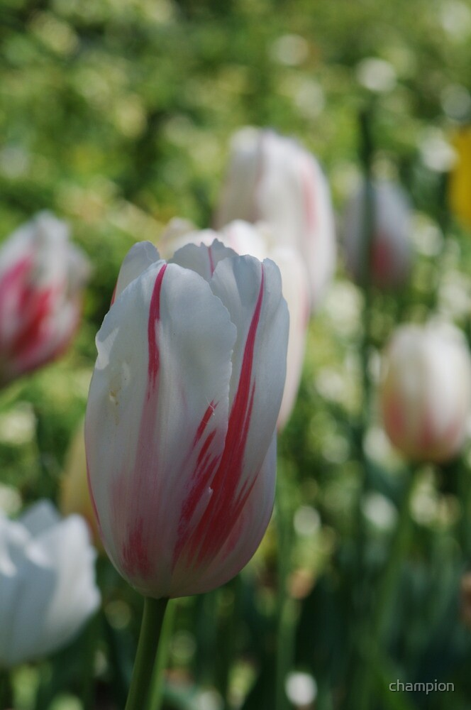 Tulip This! by champion