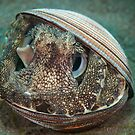 Coconut octopus - Lembeh Straits by Stephen Colquitt