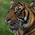 Tiger by NowhereMan