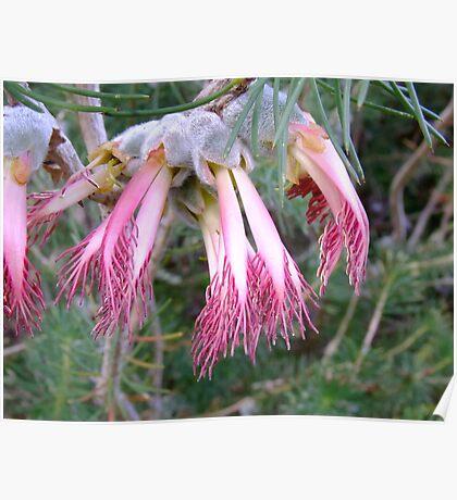 Pink Fingers - Growing wild, Wongan Hills, Western Australia Poster