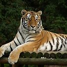 Chilled-out tiger  by NowhereMan