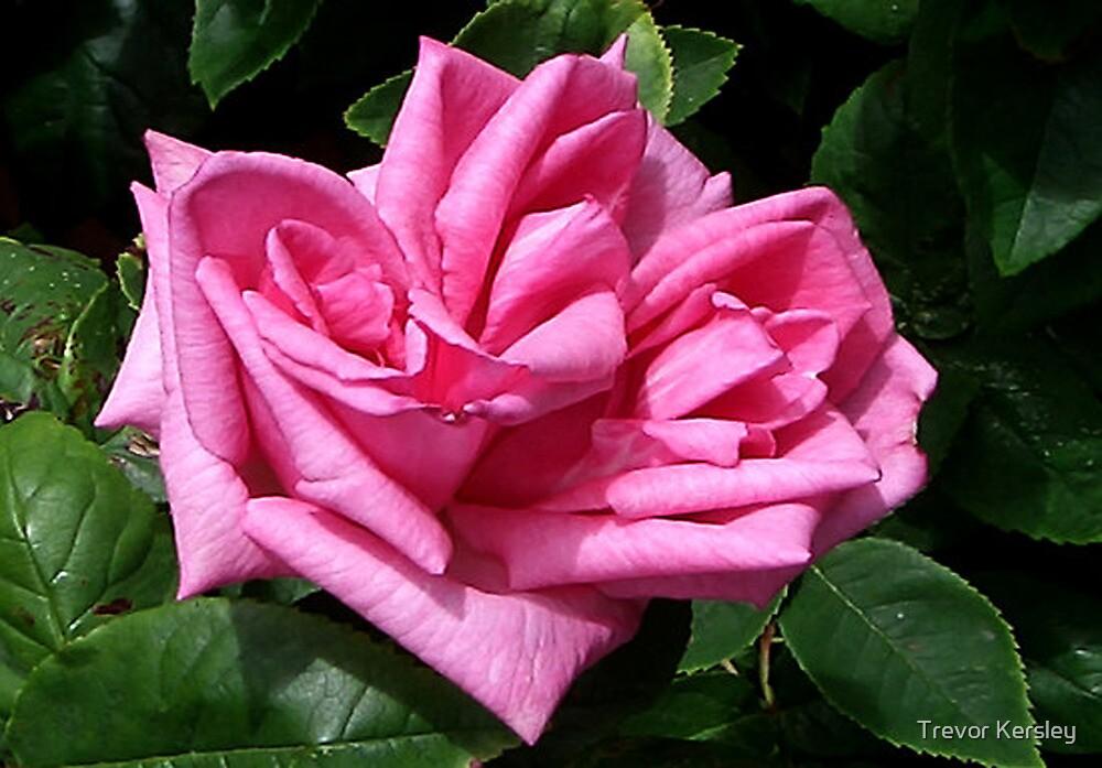 Pink Rose #1 by Trevor Kersley