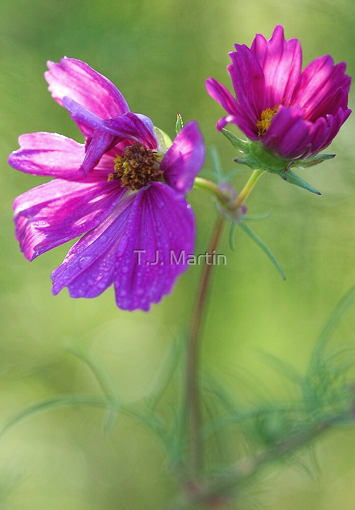 Pink Cosmos with Raindrops by T.J. Martin