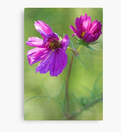 Pink Cosmos with Raindrops Canvas Print