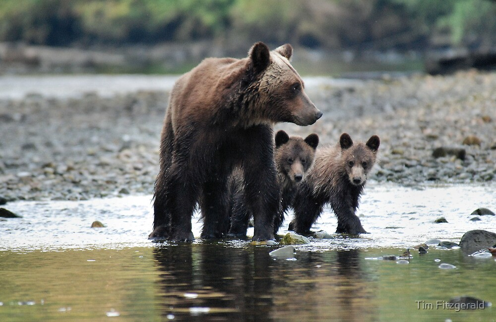 Grizzly bears (mother and cubs) 6 by Tim Fitzgerald