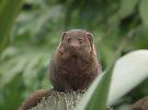 Dwarf Mongoose by Peter Barrett