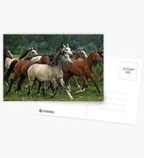 arabian horses Postcards