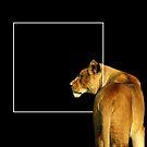 Panthera leo by Marek Novotnak