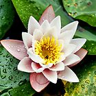 ~ Peace, Love & Enlightenment In A Pink Lotus ~ by Sandra Cockayne