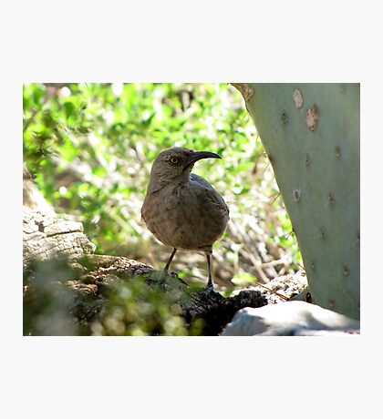 Curved-bill Thrasher Photographic Print