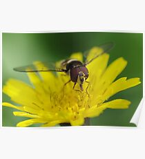 Hungry Hoverfly Poster