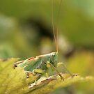 Cicada by awoni