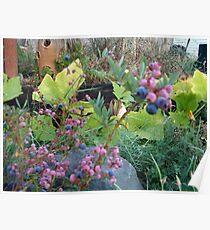 Blueberries Ripening Poster