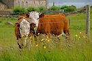 Two Little Cows by Louise Fahy