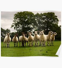 Sheep. Poster