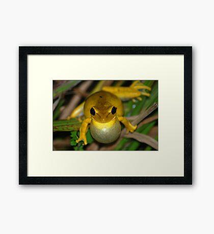 Chaco Treefrog (Hyla raniceps) - Bolivia Framed Print