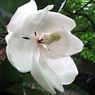Magnolia Gradaflora by Dale Lockridge