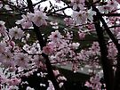 Cherry Blossoms by ValeriesGallery