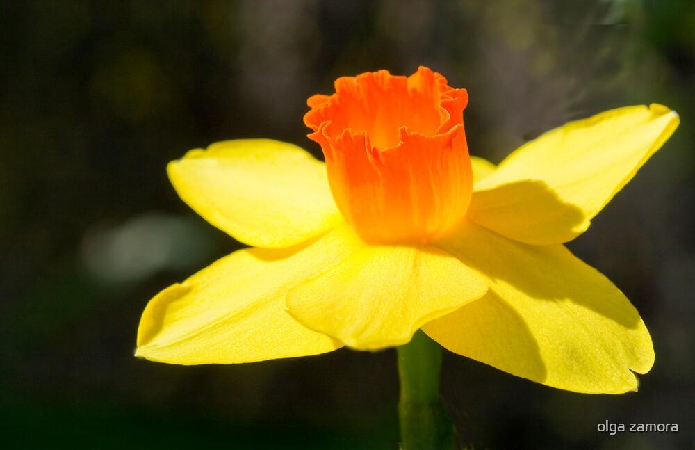 Daffodil by olga zamora