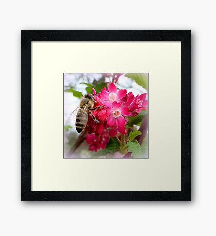 Bee on blooming jostaberry  Framed Print