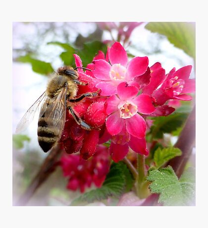 Bee on blooming jostaberry  Photographic Print
