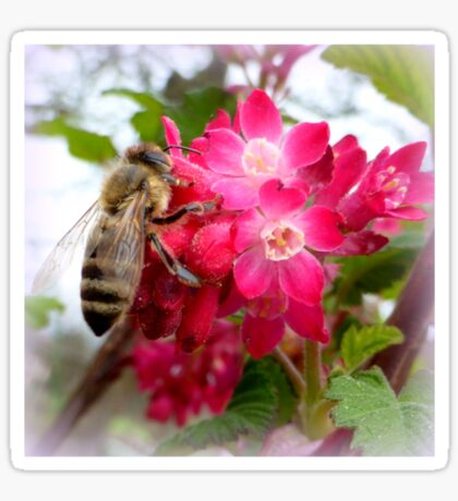 Bee on blooming jostaberry  Sticker