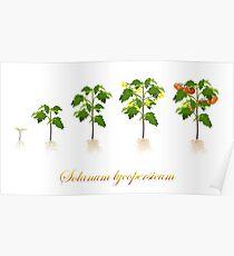 Solanum lycopersicum development  Poster