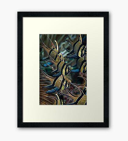 Banggai cardinalfish - Lembeh Straits Framed Print