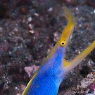 Ribbon eel - Lembeh Straits by Stephen Colquitt