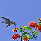 Lantana Nectar by Ann J. Sagel