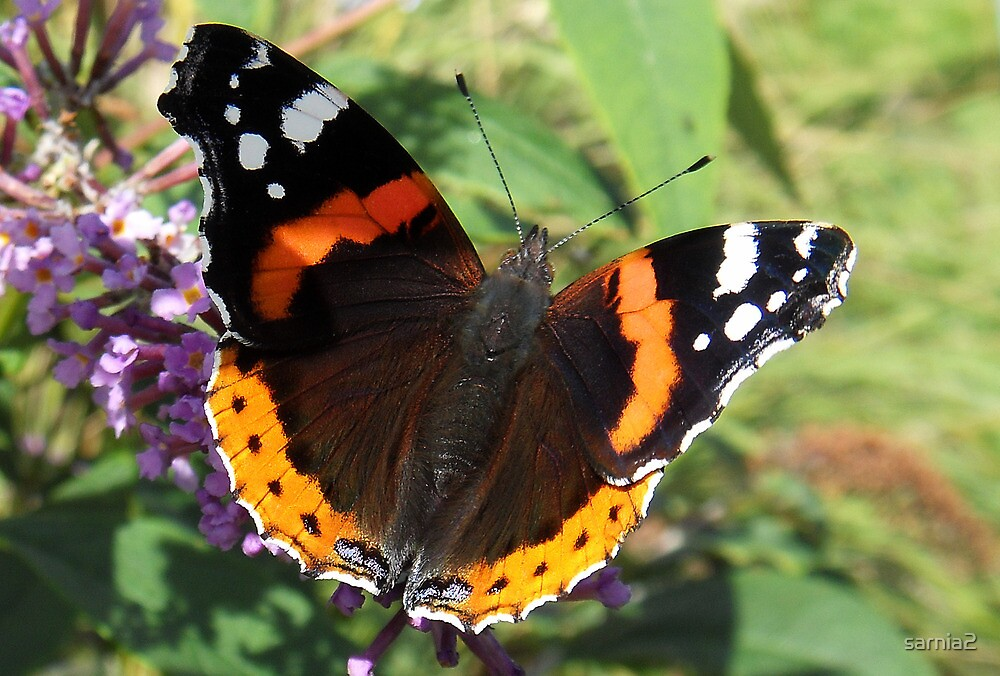Red Admiral butterfly by sarnia2