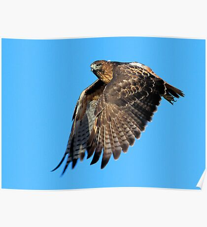 083110 Red Tailed Hawk Poster