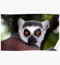 Ring-Tailed Lemur Poster