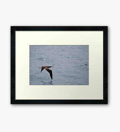 Grace - Brown Booby (Sula leucogaster) from Costa Rica Framed Print