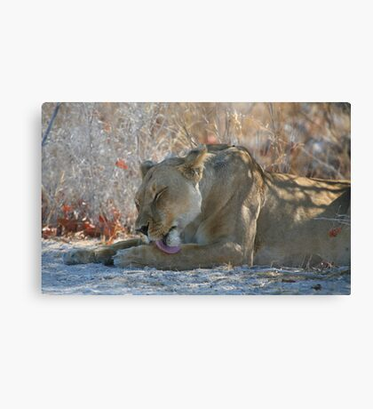 Lioness Grooming Canvas Print