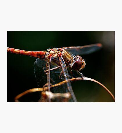 Dragonfly Splendor Photographic Print