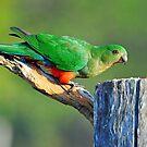 Female King Parrot In Our Back Yard. Brisbane, Queensland, Australia. by Ralph de Zilva