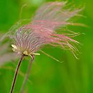Prairie Smoke by Nancy Barrett