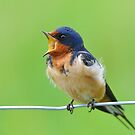 Barn Swallow Courting by Nancy Barrett