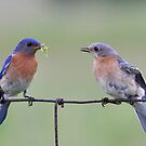 Bluebird Pair by Nancy Barrett