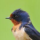 Barn Swallow Portrait by Nancy Barrett