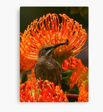 Cape Sugarbird or Bee-eater? Canvas Print