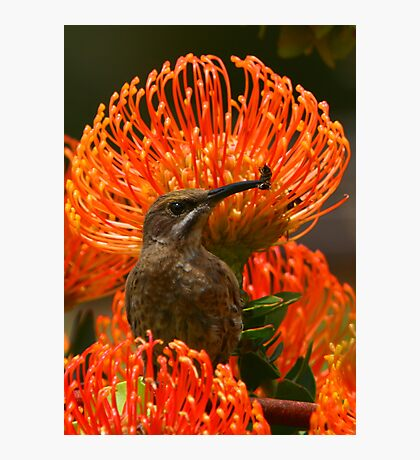 Cape Sugarbird or Bee-eater? Photographic Print