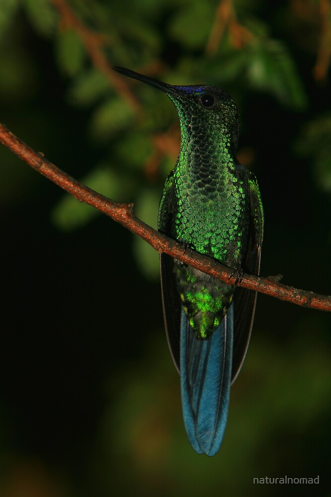 Violet-crowned Woodnymph by naturalnomad
