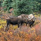 Bull Moose ~ Just A Little Tussel  by akaurora