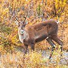 Caribou ~ Curious by akaurora