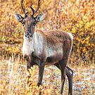 Caribou ~ Focused by akaurora