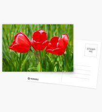 Three Tulips Postcards