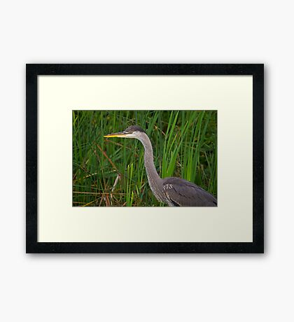 Blue heron profile Framed Print