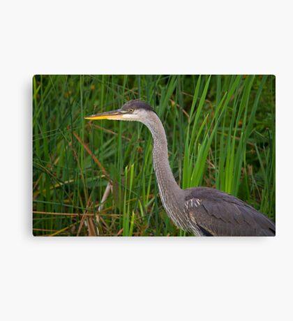 Blue heron profile Canvas Print